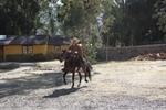 Com cavalos marchadores