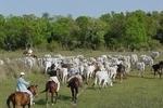 Lida com gado - Rancho de trabalho � (Guest Ranch)