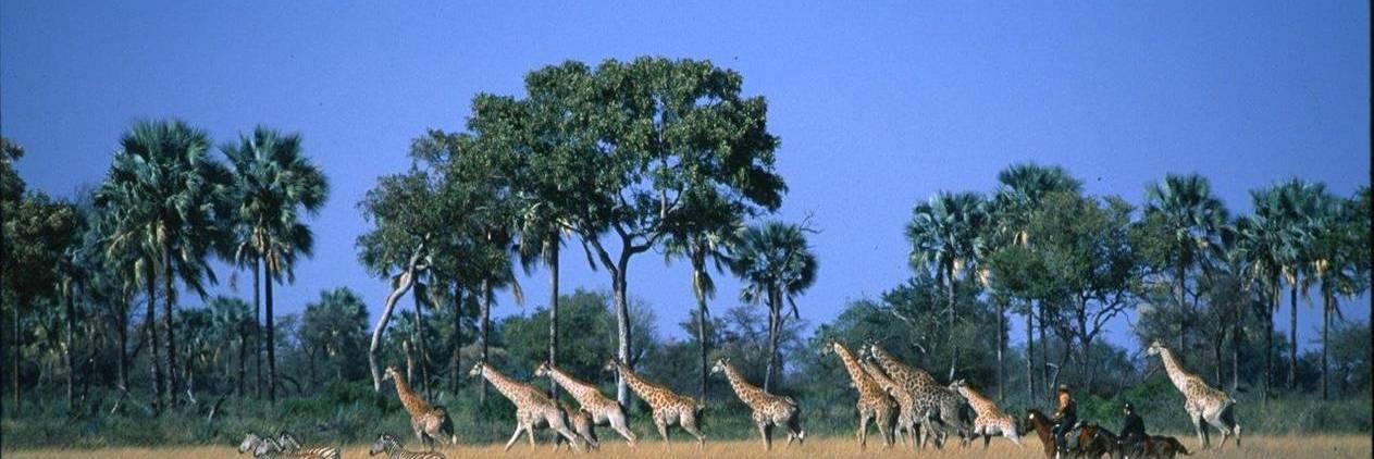 Safari no Delta do Okavango com PJ